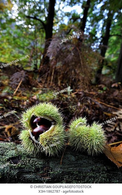 chestnuts, Forest of Rambouillet, Yvelines department, Ile-de-France region, France, Europe