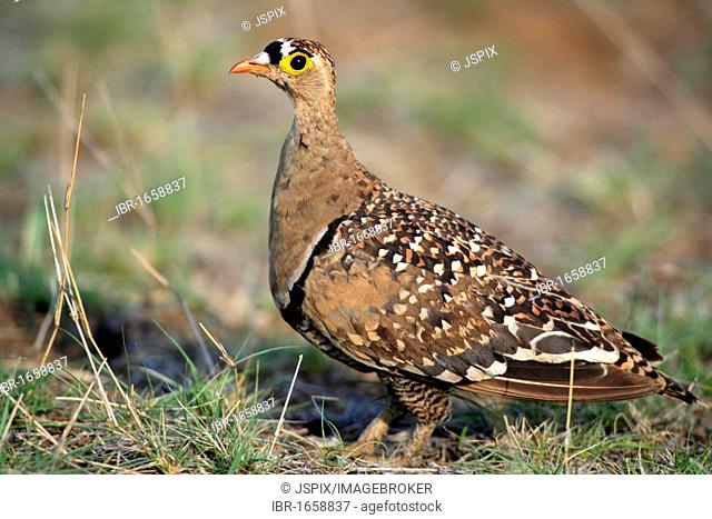 Double-banded Sandgrouse (Pterocles bicinctus), adult on the ground, Kruger National Park, South Africa, Africa
