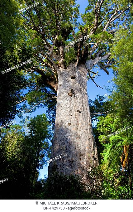 Giant Kauri (Agathis australis), here the huge kauri 'Tane Mahuta', the largest known living kauri tree in New Zealand, Waipoua Forest Sanctuary, Northland