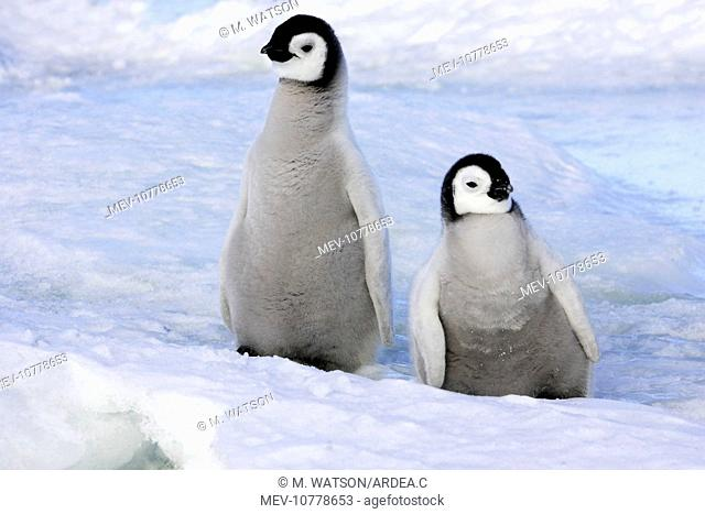 Emperor Penguin - two chicks (Aptenodytes forsteri)