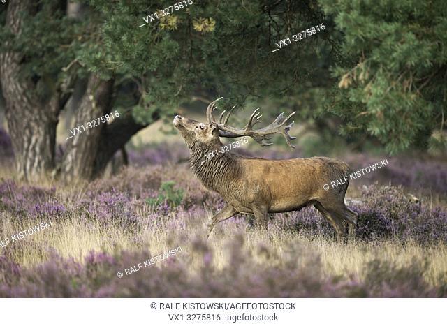 Red Deer ( Cervus elaphus ), strong stag, threatening a rival through display behaviour, rut in purplish blooming heather
