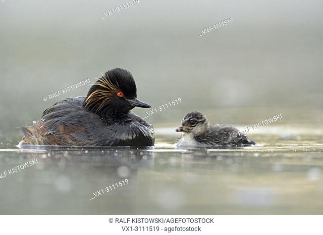 Black-necked Grebe / Eared Grebe / Schwarzhalstaucher (Podiceps nigricollis ) swims together with juvenile chick