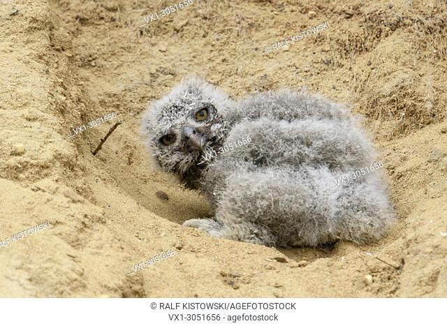 Eurasian Eagle Owl (Bubo bubo ), very young chick, fallen out of its nesting burrow in a sand pit, helpless, cute, wildlife, Europe