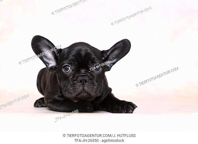 lying French Bulldog Puppy