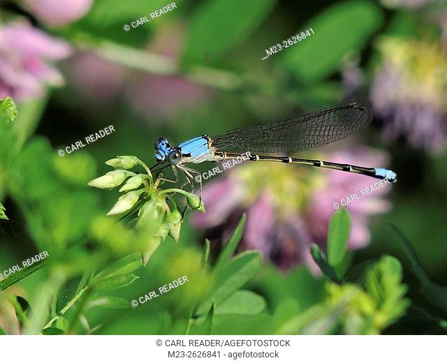 A blue dasher dragonfly, Pachydiplax longipennis, finds a lovely place to rest, Pennsylvania, USA