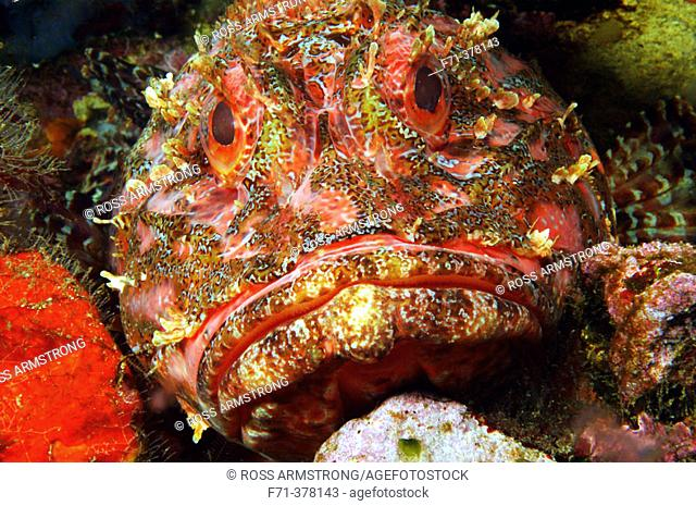 Scorpionfish (Scorpaena cardinalis). Poor Knights Islands. New Zealand