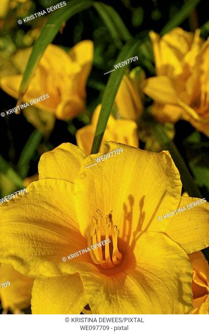 A close up of a sparkling yellow daylily called Stella D'Oro