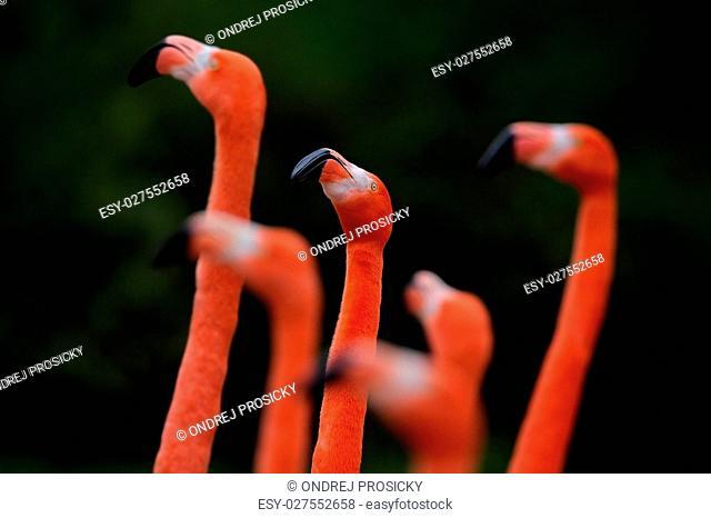 Flock of Chilean flamingo, Phoenicopterus chilensis