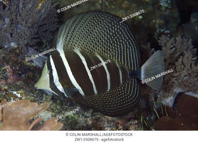 Pacific Sailfin Tang (Zebrasoma velifer), Yilliet Kecil dive site, night dive, Yilliet Island, Misool, Raja Ampat, Indonesia