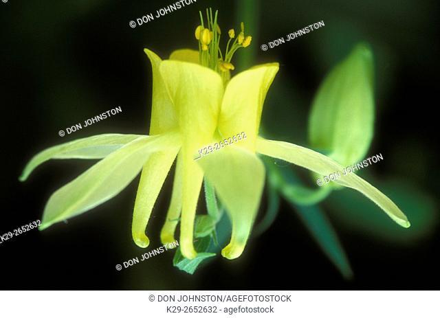 Yellow columbine (Aquilegia flavescens), Yoho National Park, BC, Canada
