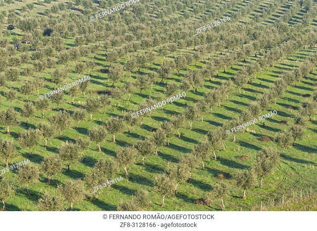 Olive grove at alentejo region, Portugal