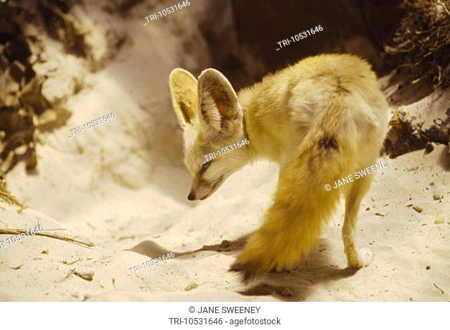 South Africa Fennec Fox