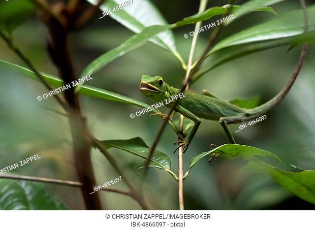 Green Crested Lizard (Bronchocela cristatella) in the tree, nature reserve Sepilok, Sabah, Borneo, Malaysia