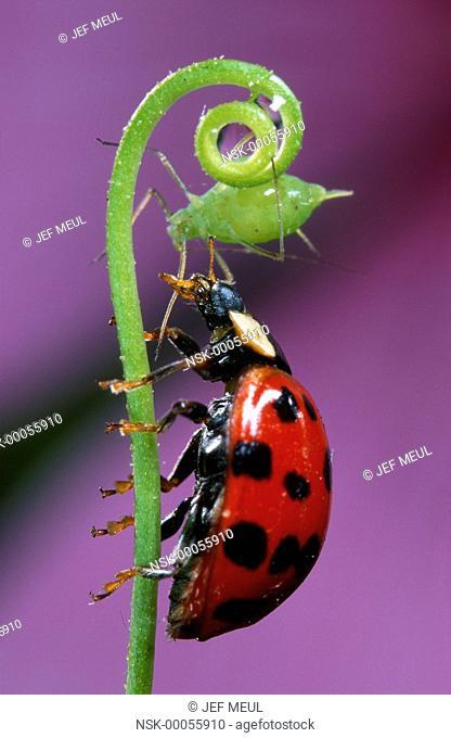 Asian Ladybird Beetle (Harmonia axyridis) catching an aphid on a stem against a purple flower petal, Belgium