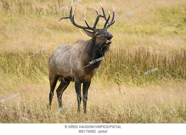Bugling bull elk during the autumn rut; Yellowstone National Park, Wyoming, USA