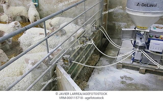Lambs eating farm, Latxa breed, Gomiztegi Baserria, Arantzazu, Oñati, Gipuzkoa, Basque Country, Spain