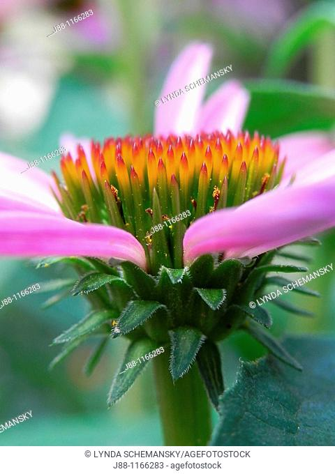 Purple coneflower echinacea purpurea flower bud beginning to open