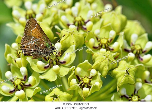 Antelope-Horns (Asclepias asperula) and foraging butterfly, Turkey Bend LCRA, Marble Falls, Texas, USA