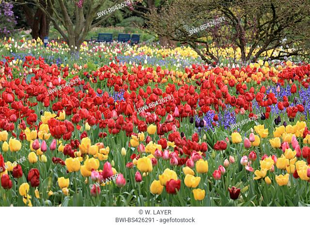 common garden tulip (Tulipa gesneriana), blooming flower bed with tulips and hyacinthes, Germany