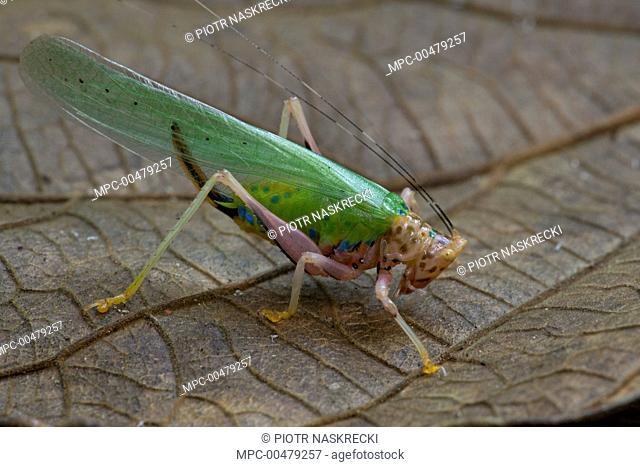 Katydid (Vestria sp), newly discovered species, Sipaliwini, Surinam