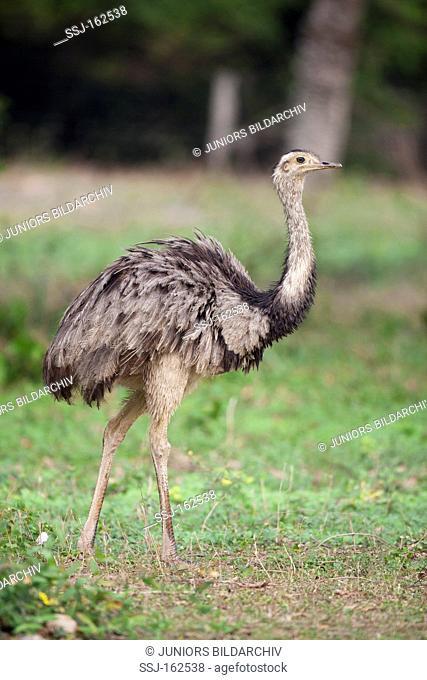 Greater Rhea - standing on meadow / Rhea americana