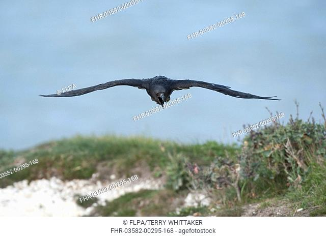 Common Raven Corvus corax adult, calling in flight, over chalk cliffs, Dover, Kent, England, may