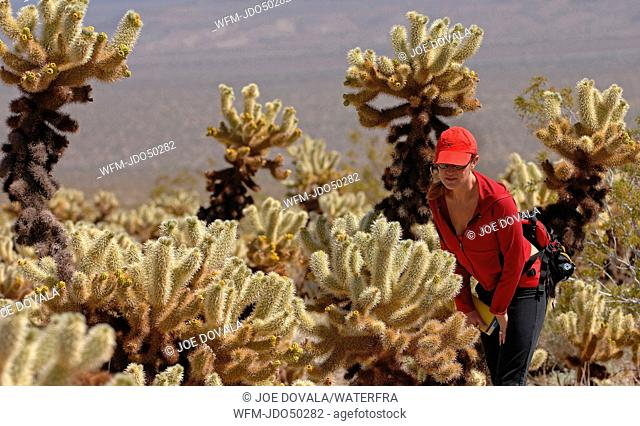 Tourist and Teddy Bear Cholla Cactus, Cylindropuntia bigelovii, Joshua Tree Park, Mojave Desert, California, USA