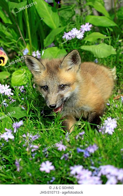 American Red Fox, Vulpes vulpes, Montana, USA, North America, young ten weeks old portrait