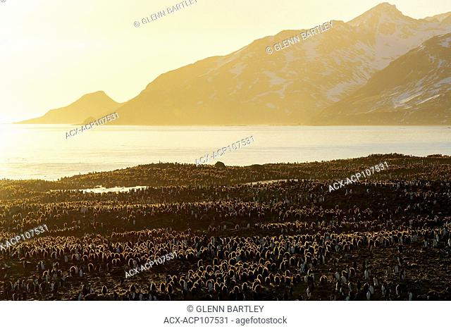 Large colony of King Penguins (Aptenodytes patagonicus) gathered on a rocky beach on South Georgia Island