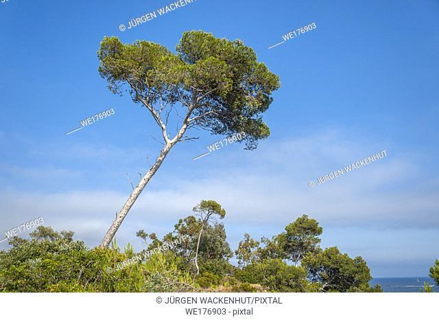 Pine tree on Pointe du Layet, Le Lavandou, Var, Provence-Alpes-Cote d`Azur, France, Europe