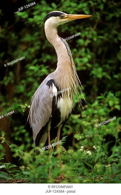 grey heron - standig / Ardea cinerea