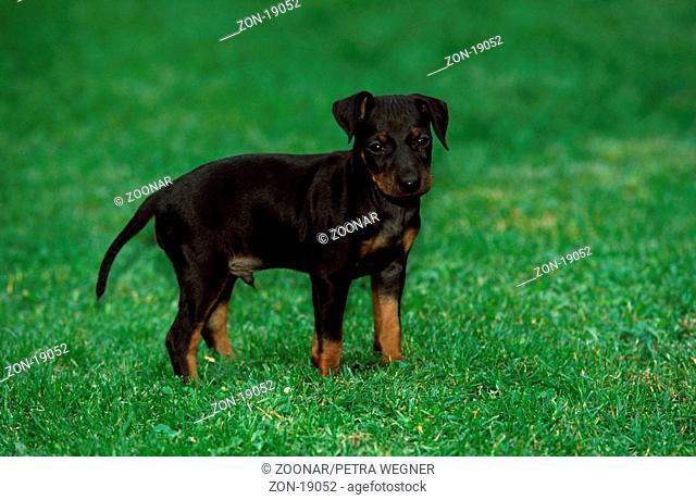 Manchester Terrier, puppy, 6 weeks old  /  Manchester-Terrier, Welpe, 6 Wochen alt  /  [Saeugetiere, mammals, animals, Haushund, domestic dog, Haustier