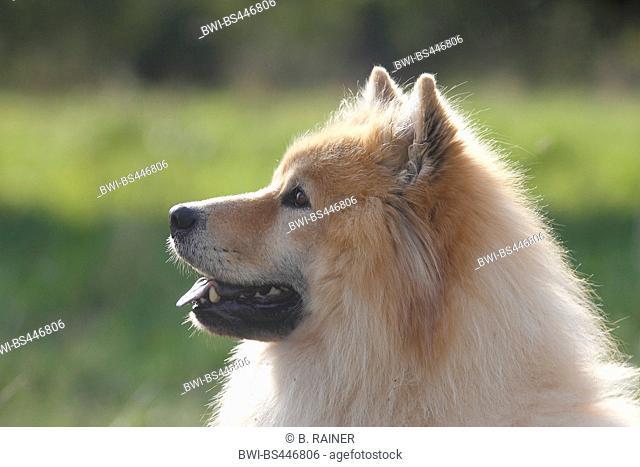Eurasian (Canis lupus f. familiaris), nine years old male dog, portrait, Germany