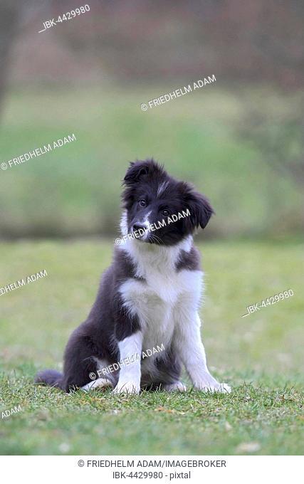 Border Collie (Canis lupus familiaris), puppy sitting in meadow, Nordrhein Westfalen, Germany