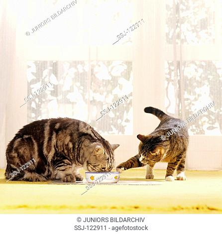 British Shorthair cat munching - domestic cat trying to steal some food