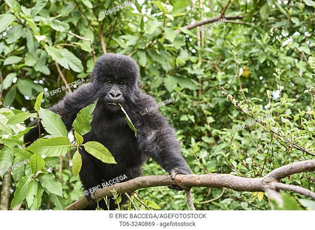 Mountain gorilla (Gorilla beringei) young baby - 2 yeras old - in tree, feeding on vegetation, member of the Nyakagezi group, Mgahinga National Park, Uganda
