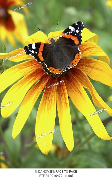 A butterfly rests on the anther of a yellow petaled flower, Admiral