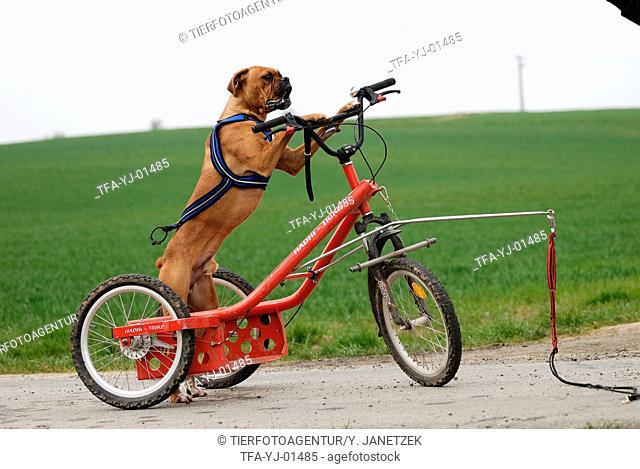 Deutscher Boxer at bike