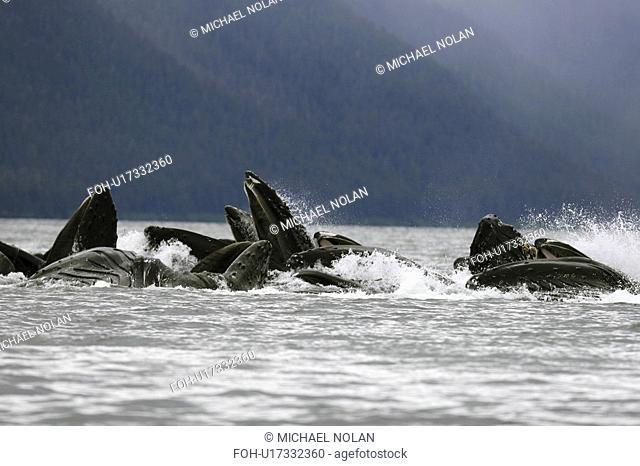 Adult humpback whales Megaptera novaeangliae cooperatively bubble-net feeding in Freshwater Bay on Chichagof Island in Southeast Alaska, USA