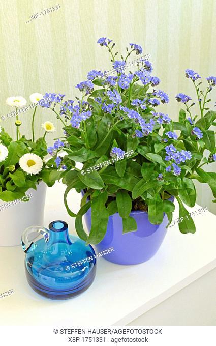 Forget-me-nots Myosotis and daisy Bellis perennis