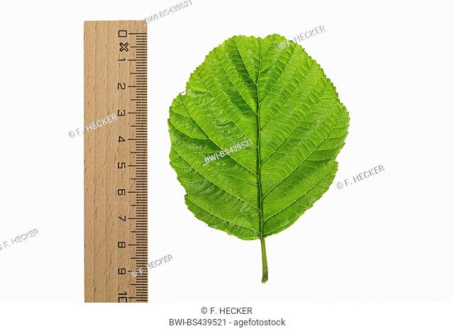 common alder, black alder, European alder (Alnus glutinosa), leaf, lower side, cutout, with ruler