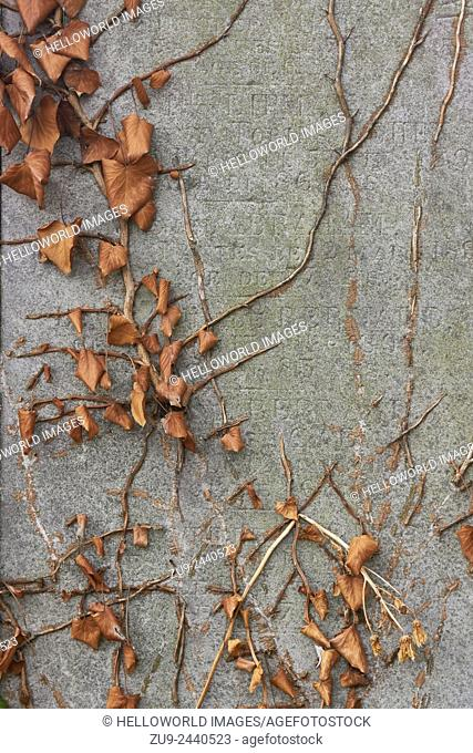 Creeper growing over an old faded gravestone, Pere Lachaise cemetery, Paris, France, Europe
