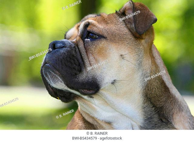 Continental Bulldog (Canis lupus f. familiaris), six month old she dog, portrait, Germany