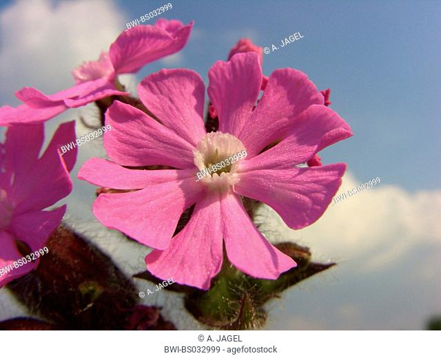Red campion (Silene dioica), flower, Germany