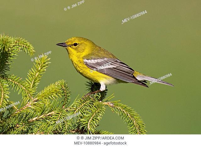 Pine Warbler - spring plumage (Dendroica pinus). Connecticut - USA