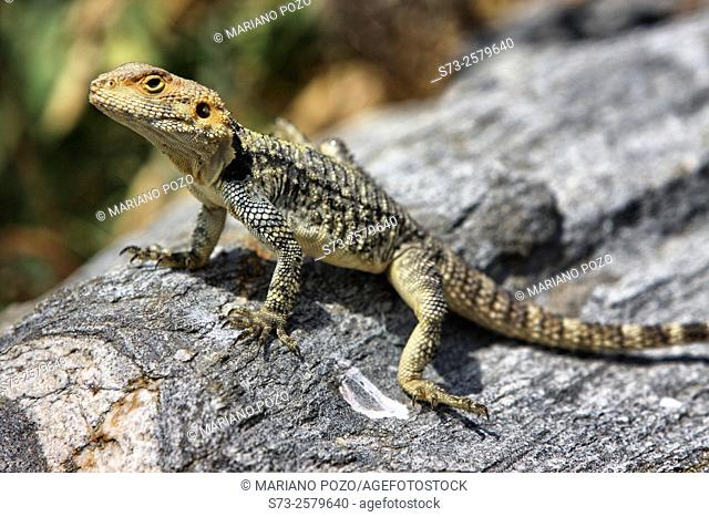 Roughtail Rock Agama Laudakia stellio, Delos, Greece, Europe