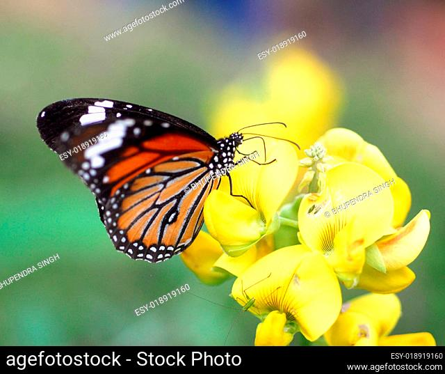 Orange Tiger Butterfly insect