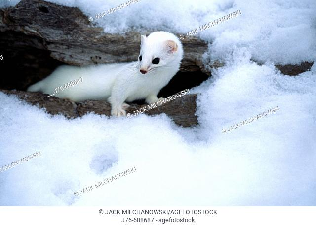 Long-tailed Weasel (Mustela frenata or Mustela longicauda). This diurnal mustelid preys on mice and voles and stores food