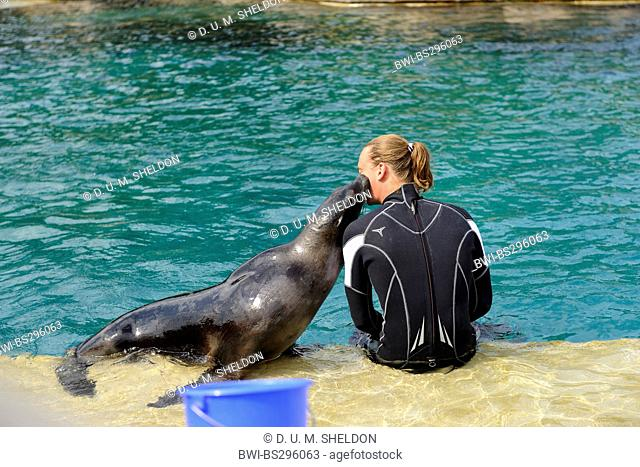 Californian sea lion (Zalophus californianus), kissing the keeper