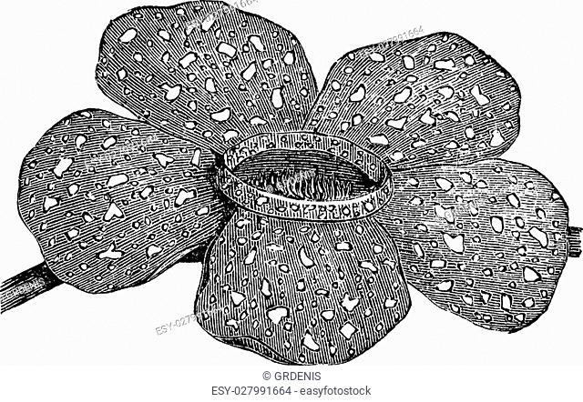 Rafflesia arnoldii or Rafflesia titan or Corpse flower, vintage engraving. Old engraved illustration of Rafflesia arnoldii